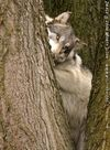 A wolf in a tree.