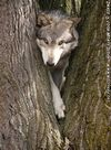 Still the same wolf in a tree