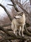 A wolf in a willow tree.
