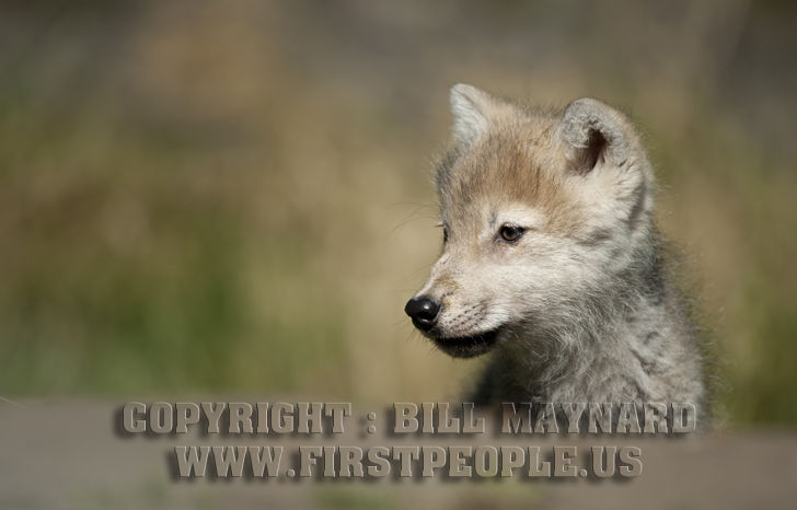 Cute looking arctic wolf pup aka canis lupus arctos aka polar wolf