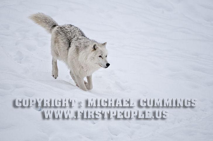 Arctic Wolf #9