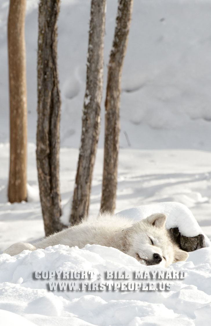 An Arctic Wolf Sleeping In The Snow (Arctic Wolf aka Canis ...