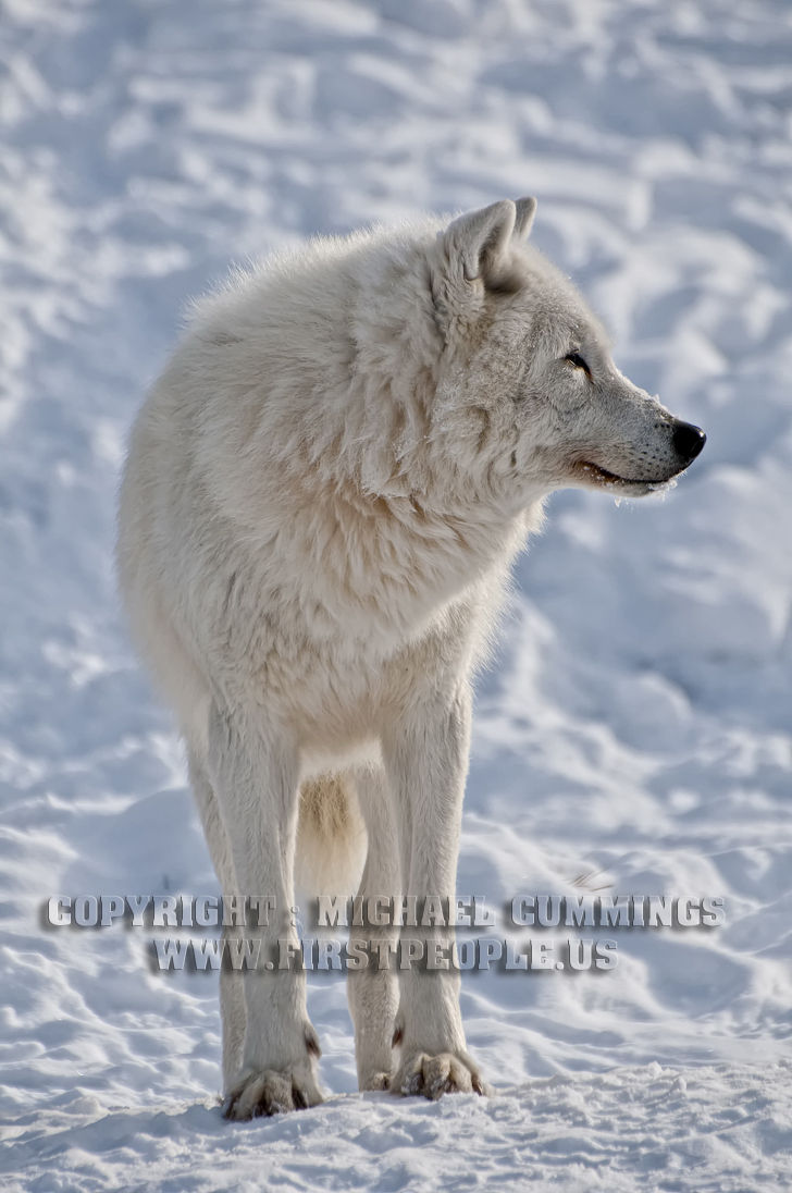 An Arctic Wolf With Blood Around The Mouth (Arctic Wolf ...