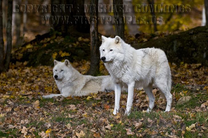 Arctic Wolf #19