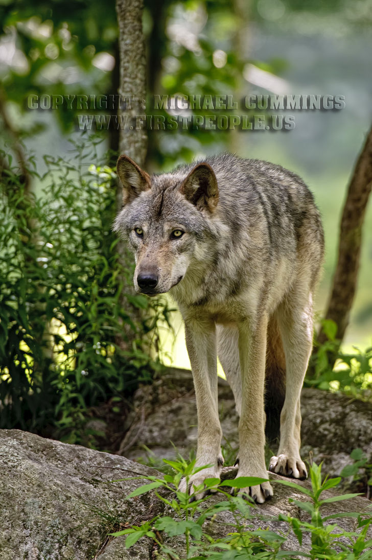 photographs of timber wolves and timber wolf pups