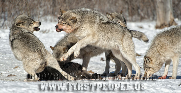 Food Fight Timber Wolf A Subspecies Of Canis Lupus
