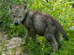 A Blue-Eyed Timber Wolf Pup Taking A Stroll.
