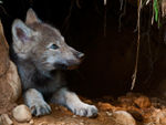 A Blue-Eyed Timber Wolf Pup.