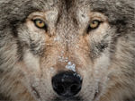A Close Up Of A Timber Wolf 1.