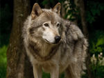 A Fine Looking Timber Wolf.