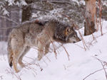 A Foraging Timber Wolf.
