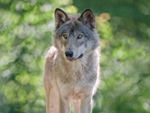 A Posing Timber Wolf.