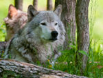 A Proud Looking Timber Wolf.