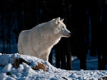 A Regal Looking Arctic Wolf.