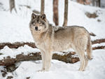 A Side Shot Of A Timber Wolf Standing In The Snow.