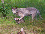 A Timber Wolf And Pup.
