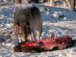 A Timber Wolf Eating A Boar Carcass.