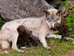 A Timber Wolf Feeding Her Pups.