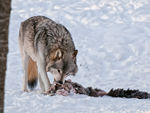A Timber Wolf Finishing Off A Boar Carcass.