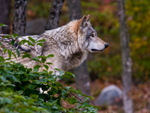 A Timber Wolf Profile A.