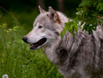 A Timber Wolf Profile B.