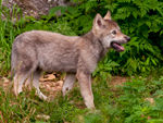 A Timber Wolf Pup Side On.