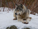 A Timber Wolf Resting In The Snow.