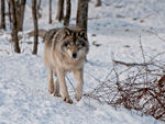 A Timber Wolf Taking A Stroll In The Snow.