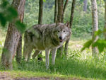 A Timber Wolf Walking In The Forest.