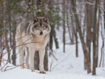 A Timber Wolf Standing In The Snow B.