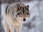 A Timber Wolf Standing In The Snow C.