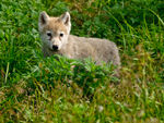 A Young Arctic Wolf Pup In The Foliage.