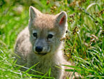 A Young Arctic Wolf Pup Sitting In The Grass.
