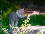 A Young Inquisitive Arctic Wolf Pup.