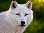 Arctic wolves and arctic wolf pups