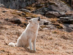 An Arctic Wolf Howling.