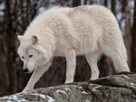 An Arctic Wolf In Winter Coat.