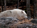 An Arctic Wolf Profile 2.