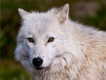 An Arctic Wolf Profile 3.