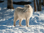 An Arctic Wolf Pup Looking Behind.