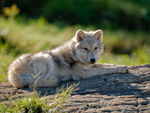 An Arctic Wolf Pup Resting On A Rock.