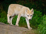 An Arctic Wolf Pup Taking A Stroll 2.