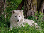 An Arctic Wolf Resting In The Grass.
