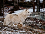 An Arctic Wolf Side On 2.