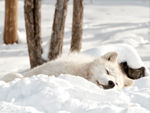 An Arctic Wolf Sleeping In The Snow.
