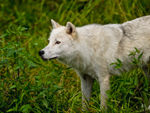 An Arctic Wolf Standing In Foliage.