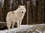 An Arctic Wolf Standing Proud.