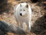An Arctic Wolf Taking A Stroll.
