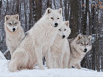Four Arctic Wolves.