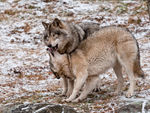 Submissive Timber Wolf.